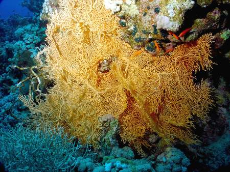 A gorgonia (sea fan) in the middle of a reef column. | © Michał Machalski | Dreamstime.com