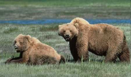 Grizzly- Parco di Yellowstone | U.S. Fish and Wildlife Service - Public Domain